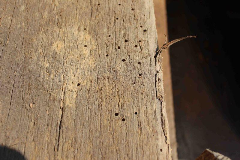 powderpost beetle infestation